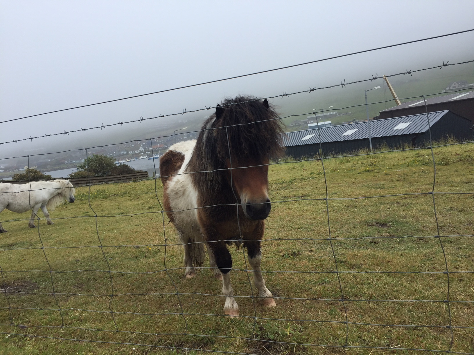 Shetland ponies. you'll find them everywhere!