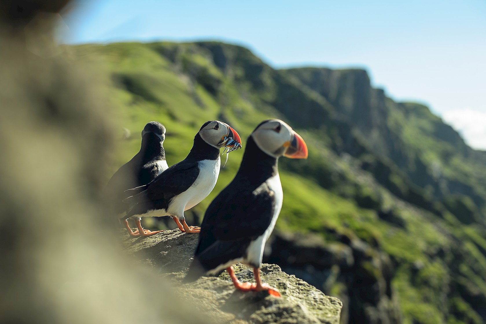 Puffins at Sumburgh